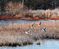 Pintails on the wing