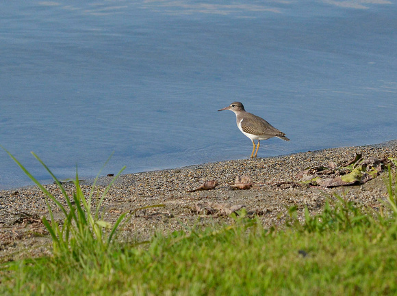 Spotted Sandpiper, adult, winter plumage