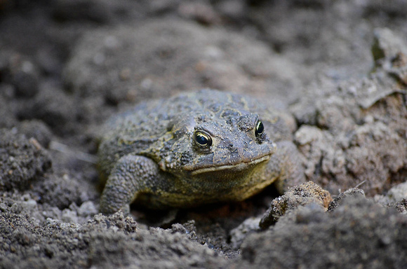 Less than happy toad