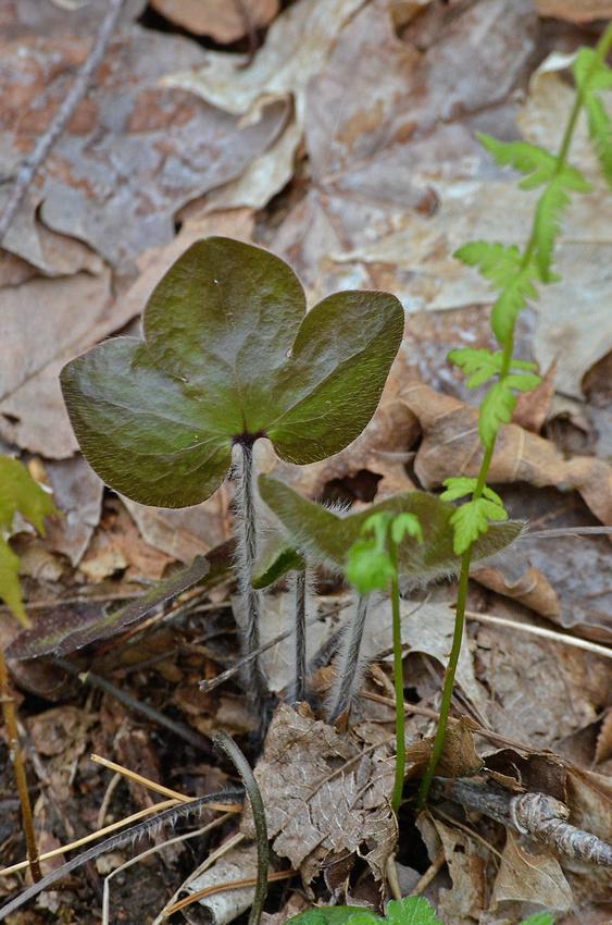Hepatica leaves, Wyassup