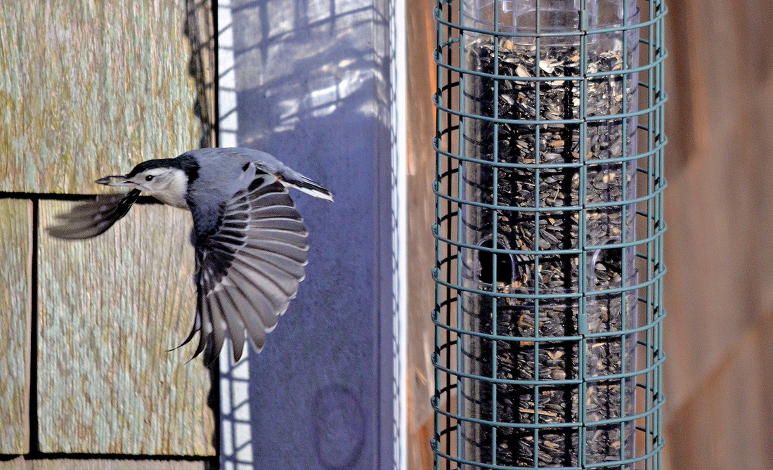 White-breasted Nuthatch, Home