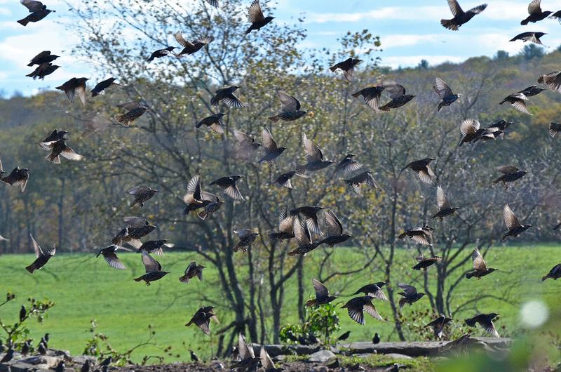 Blackbirds, Lewis Farm