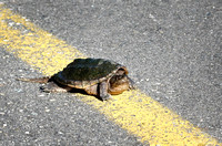 Obstinate snapping turtle
