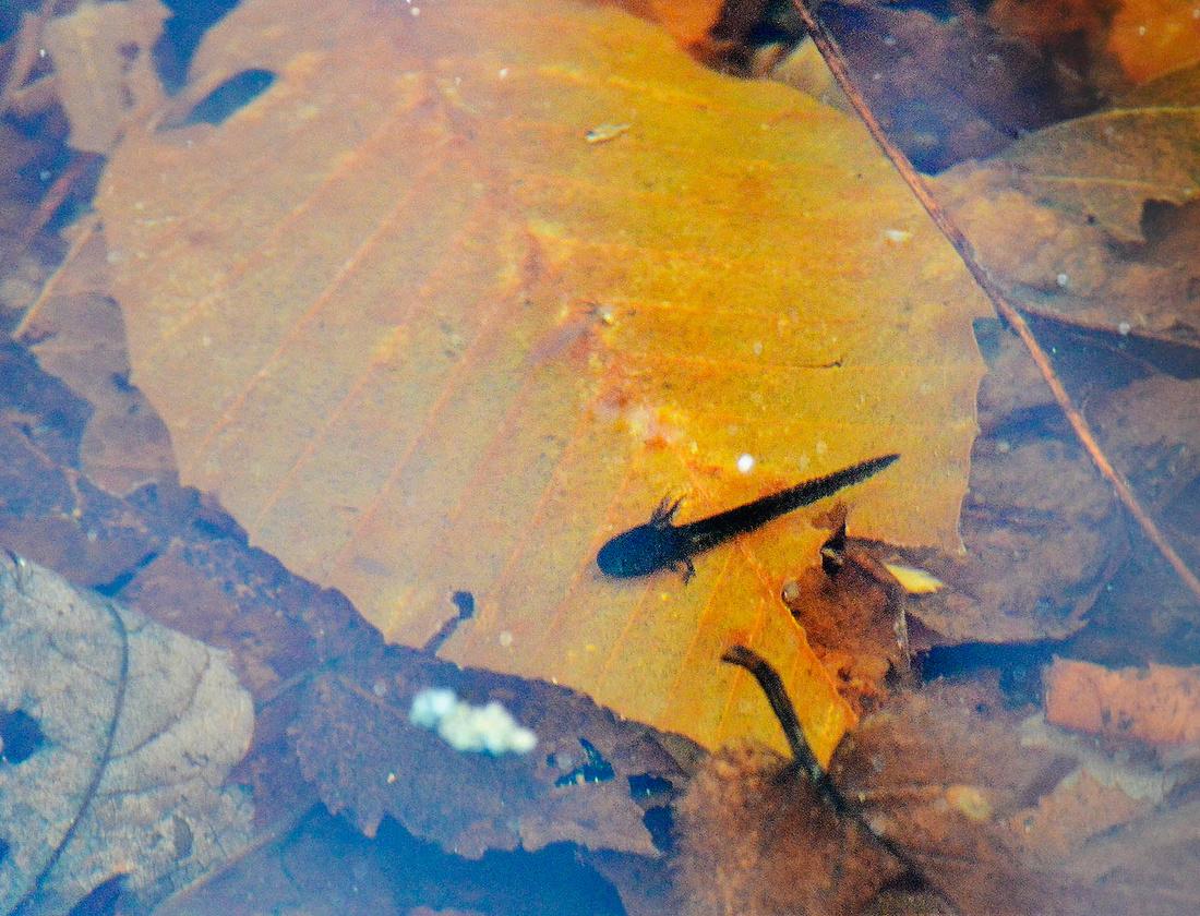 New opacum larvae, Babcock